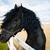 portrait of a frisian horse stock photo © castenoid