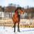 Bay horse in winter stock photo © castenoid