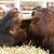 grande · marrom · vaca · alimentação · grama · comida - foto stock © cboswell
