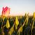 tulipán · mező · virágzik · napfelkelte · tavasz · fesztivál - stock fotó © cboswell