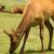 büyük · boğa · batı · hayvan · yaban · hayatı · park - stok fotoğraf © cboswell