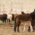 wild horses collected oregon state horse pony offspring stock photo © cboswell