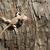 wild animal sagebrush lizard forest reptile sceloporus graciosus stock photo © cboswell