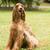 retrato · irlandés · rojo · perro · parque · verano - foto stock © cboswell