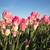 roze · tulpen · zonlicht · landbouw - stockfoto © cboswell