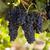 uve · vite · alimentare · campo · blu - foto d'archivio © cboswell