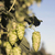 hops plants buds growing in farmers field oregon agriculture stock photo © cboswell