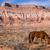 domestic animal livestock horse grazes desert southwest canyon l stock photo © cboswell