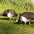 peafowl female peahen flying birds grazing feeding wild animals stock photo © cboswell