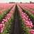 pink tulips bend towards sunlight floral agriculture flowers stock photo © cboswell