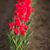 red tulips bend towards sunlight floral agriculture flowers stock photo © cboswell