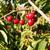 farm fresh cherries sweet fruit vine cherry tree farm agricultur stock photo © cboswell