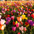 coloré · mer · belle · tulipes · plein · fleurir - photo stock © cboswell