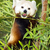 panda · ebéd · eszik · bambusz · levelek · étel - stock fotó © cboswell