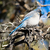 синий · Перу · птиц · белый - Сток-фото © cboswell