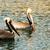 brown wild pelican bird san diego bay animal feathers stock photo © cboswell