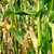 ruim · milho · podre · ouvido · rústico · mesa · de · madeira - foto stock © chatchai