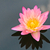 roze · lotus · abstract · achtergrond · frame - stockfoto © chatchai