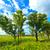 beyaz · huş · ağacı · alan · ağaçlar · mavi · gökyüzü · gökyüzü - stok fotoğraf © chesterf