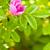 wild dog rose bud macro stock photo © chesterf