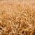 campo · de · trigo · horizontal · amarillo · alimentos · naturaleza · marco - foto stock © chesterf