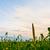 corn field under sunset stock photo © chesterf
