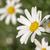 papatya · beyaz · çiçekli · bahar · sezon - stok fotoğraf © cienpies