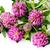vermelho · trevo · erva · flores · flor · monte - foto stock © cipariss