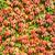 najaar · Rood · wijnstokken · vallen · decoratie - stockfoto © cipariss