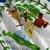 Belize · zászló · web · design · stílus · gomb - stock fotó © cla78