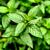 hortelã-pimenta · ver · planta · verde · folhas - foto stock © claudiodivizia