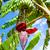 banana flower stock photo © cookelma