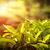 茶 · 葉 · ぼけ味 · 日光 · ツリー - ストックフォト © cookelma