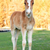 a colt with sprawling legs stock photo © cosma