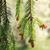 pino · ramoscello · macro · primo · piano · bud · verde - foto d'archivio © cosma