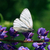 cabbage white butterfly stock photo © cosma