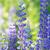 Blauw · bloemen · kant · van · de · weg · Zweden · natuur - stockfoto © cosma