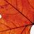 közelkép · ősz · levél · izolált · fehér · extrém - stock fotó © courtyardpix