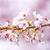 日本語 · 桜 · ツリー · 小枝 · 咲く - ストックフォト © cozyta
