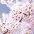 sakura · virág · fehér · rózsaszín · fa · levél - stock fotó © cozyta
