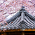 weeping sakura infront of japanese temple stock photo © cozyta