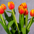 hermosa · naranja · rojo · tulipanes · gris · Pascua - foto stock © Cursedsenses