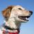 французский · портрет · собака · студию · ПЭТ · белом · фоне - Сток-фото © cynoclub