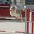 atlama · border · collie · eğitim · spor · çit - stok fotoğraf © cynoclub