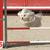 maltese dog in agility stock photo © cynoclub