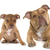 puppy and adult old english bulldog stock photo © cynoclub
