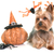 yorkshire · terrier · halloween · blanco · jóvenes · arana - foto stock © cynoclub