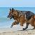 corrida · pastor · coleira · campo · cão · livre - foto stock © cynoclub