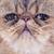 エキゾチック · ショートヘア · 猫 · 白 · 肖像 · スタジオ - ストックフォト © cynoclub