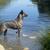 zwemmen · holland · herder · portret · rivier · water - stockfoto © cynoclub